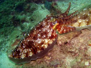 A cuttlefish uses a uniform/stipple pattern in a similar shade of beige to blend in with the sand in its environment.